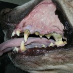 parodontitida, zubní kámen, zubní kaz, pes