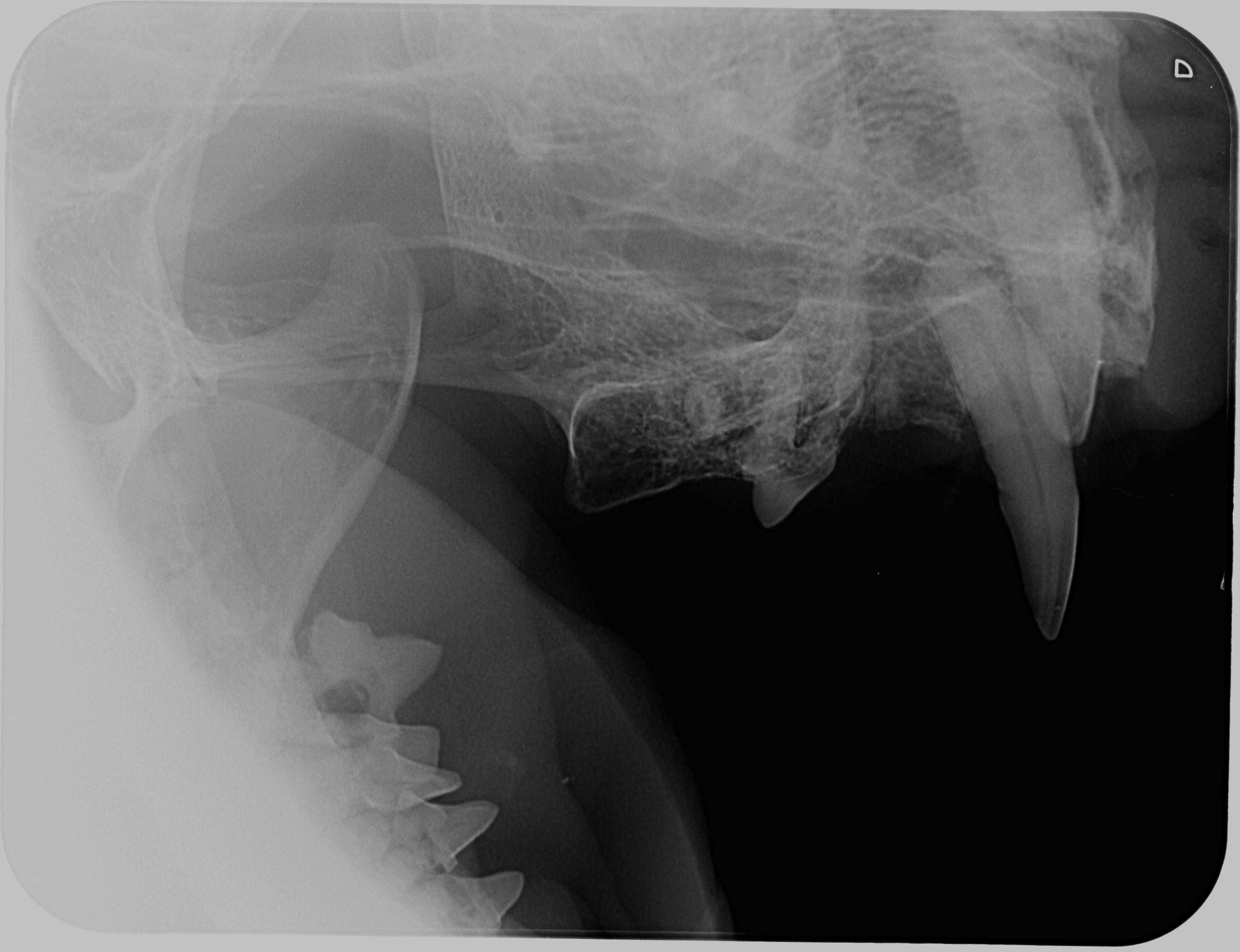 intraorální snímek levé horní čelisti se zbytky kořenů