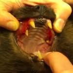 červené dásně způsobené zánětem, jehož příčinou jsou zbytky kořenů